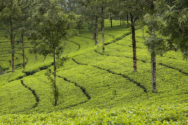 Plantaciones del té